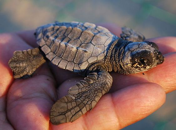Baby Loggerhead Turtle